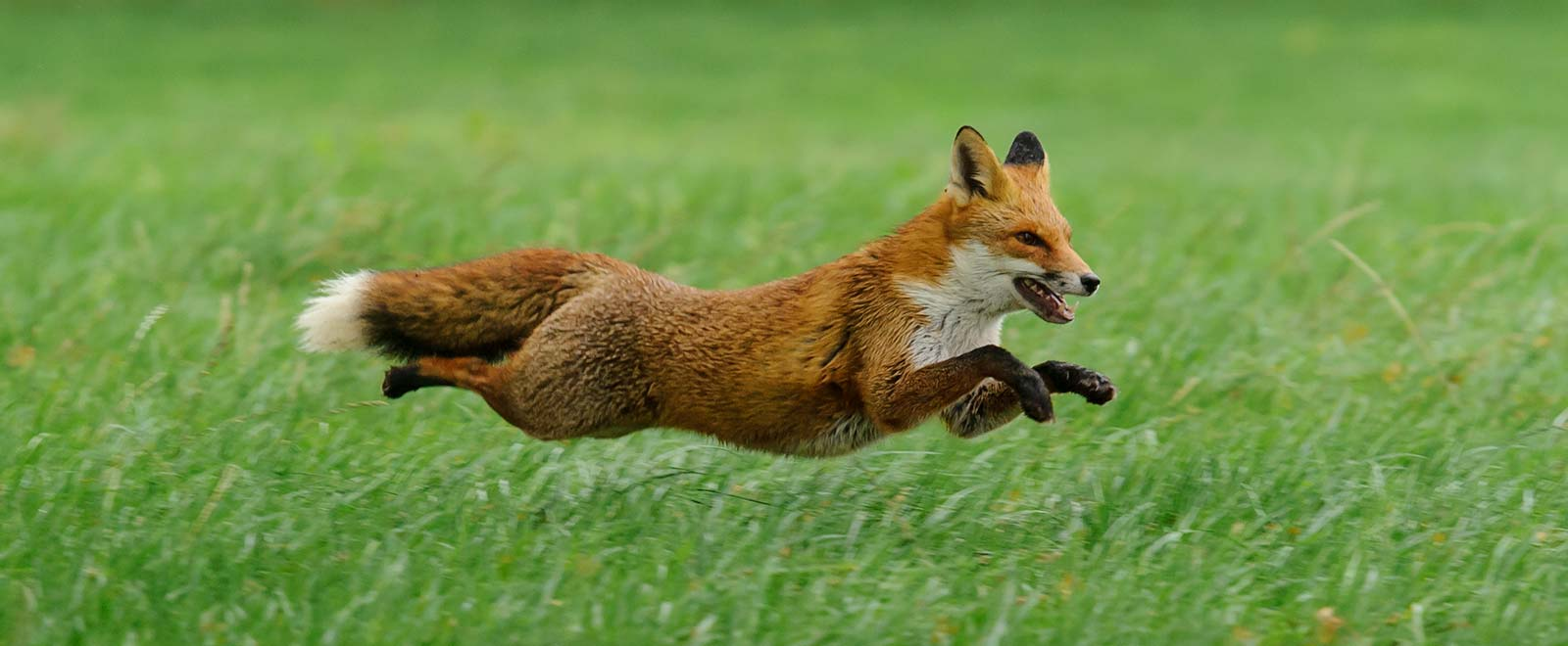 red-fox-vulpes