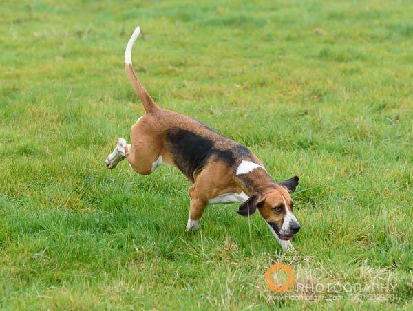 A Belvoir hound