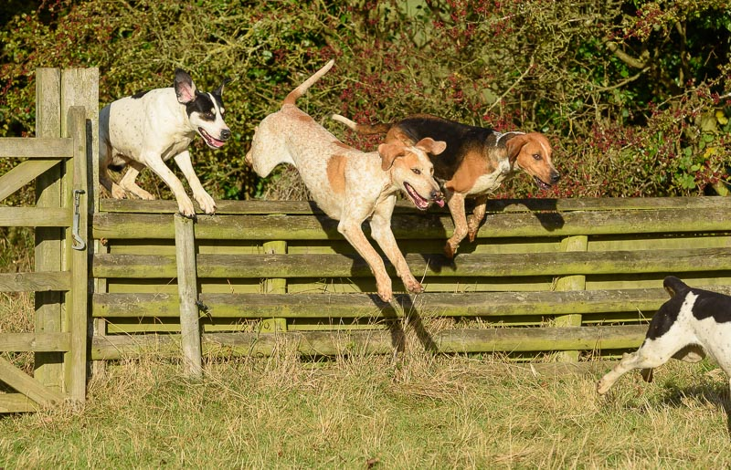 Hounds jumping a fence on the first line