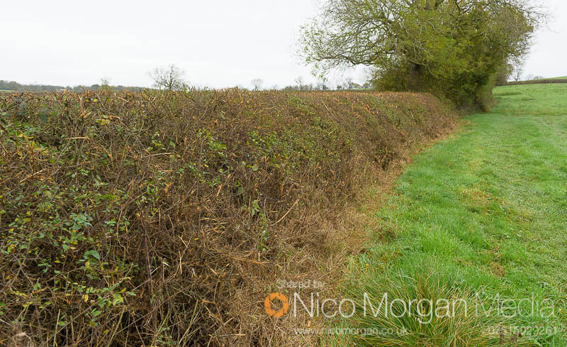 Melton Hunt Club Ride 2017: Hedge between fences 3 and 4 - landing side, right hand