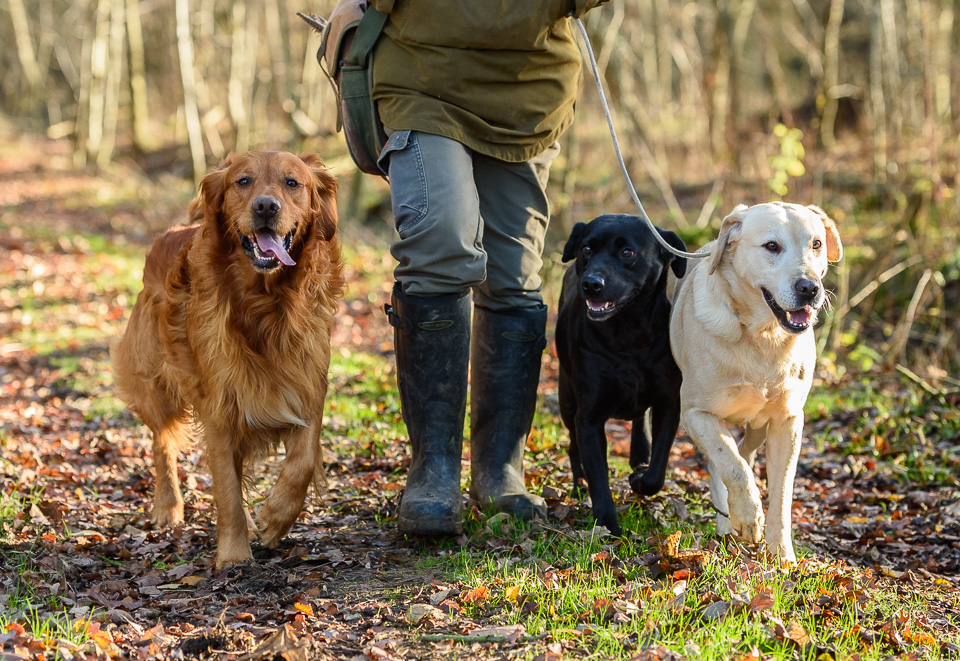Gundogs on a game shoot in Northamptonshire