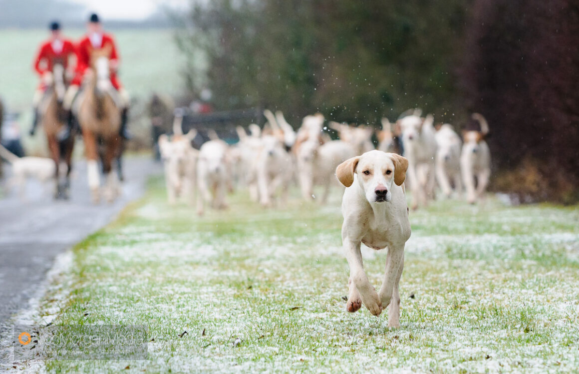 Single Quorn foxhound leading the pack into Eye Kettleby Hall.