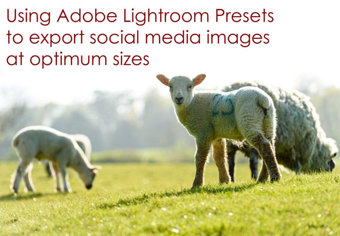 lambs in Little Dalby